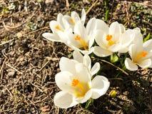 第一朵番红花在生长从地球的早期的春天 图库摄影