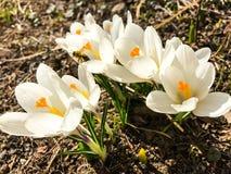 第一朵番红花在生长从地球的早期的春天 库存图片