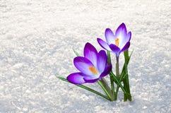 第一朵番红花花 免版税图库摄影