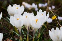 第一朵白色番红花花 库存照片