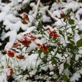 第一朵积雪的花 库存图片