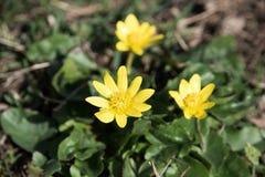 第一朵花在春天 免版税图库摄影