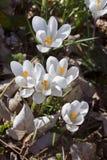 第一朵花在春天 库存照片