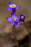 第一朵花 图库摄影