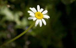第一朵雏菊 库存图片