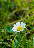 第一朵雏菊 免版税图库摄影