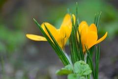 第一朵黄色番红花花 库存照片