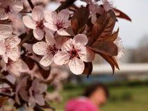 第一朵年轻人叶子和花在苹果分支 免版税库存照片