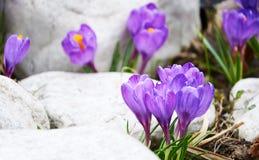 第一朵紫罗兰色番红花花 免版税库存图片