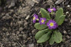 第一朵紫罗兰 库存图片