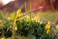 第一朵黄色花 库存照片