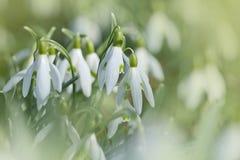 第一朵snowdrop花 库存图片