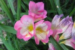 第一株有气味的小苍兰在春天庭院 免版税库存照片