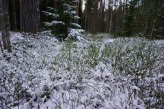 第一森林雪 免版税库存照片