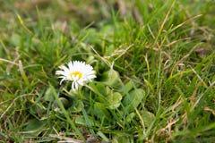 第一棵春天春黄菊 库存照片