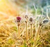 第一棵春天植物-草梦想的芽  免版税库存图片