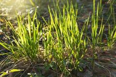 第一棵草在冬天以后在森林里晴天 库存照片