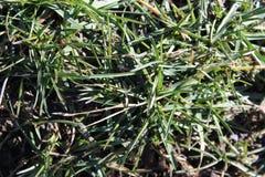 第一棵greem草在冬天以后 库存照片