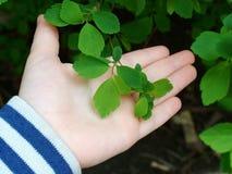 第一片绿色叶子 免版税库存图片