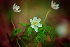 第一白色春天在森林里开花,银莲花属nemorosa, 免版税库存照片