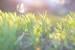 第一绿草在早晨阳光下 早期的春天概念 免版税库存图片