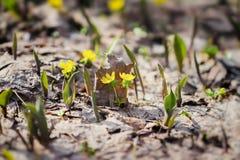 第一花春天 开花黄色菟葵属,去年` s叶子 选择聚焦,春天背景 免版税库存图片