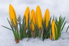 第一花春天 生长在雪中的黄色番红花 免版税库存照片