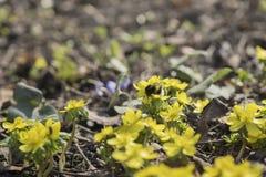 第一花春天 第一只蜂和土蜂 开花黄色菟葵属,去年` s叶子 选择聚焦 免版税库存图片
