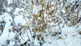 第一雪在11月,在雪的积雪的草,在11月冬天城市 干草在12月与 免版税库存图片