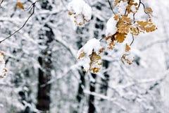 第一雪在11月 橡树b积雪的黄色叶子  库存图片