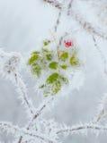 第一雪玫瑰果 免版税库存图片