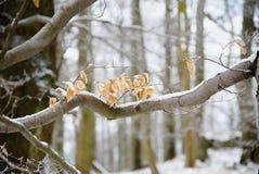 第一雪盖了山毛榉树失去的叶子  山毛榉森林 免版税图库摄影