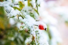 第一雪 绿色离开,红色莓果狂放上升了 免版税库存图片