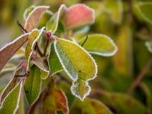 第一霜和雪在叶子- 7 库存图片