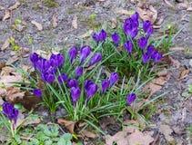 第一,精美紫色番红花花在早期的春天 免版税库存照片