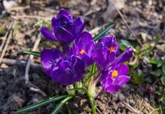 第一,精美紫色番红花花在早期的春天 库存图片