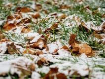 第一滴下的雪盖了一片绿草和黄色下落的叶子 图库摄影