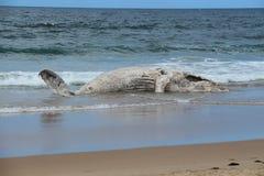 第二条鲸鱼在Broulee使靠岸 免版税库存照片