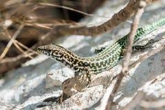 第勒尼安墙壁蜥蜴 免版税库存图片