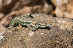 第勒尼安墙壁蜥蜴 库存图片