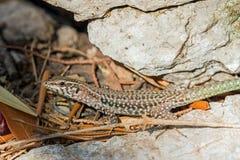 第勒尼安墙壁蜥蜴 免版税库存照片