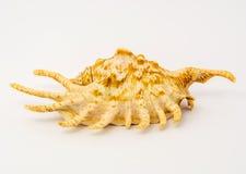 第15个2009年背景查出照片海运9月壳被采取的白色 免版税库存图片