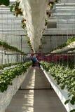 第7个国际草莓讨论会 免版税图库摄影