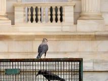 笼中的乌鸦 图库摄影