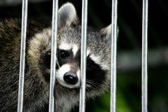 笼中的浣熊 库存照片