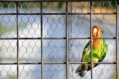 笼中的爱情鸟孤独 库存图片