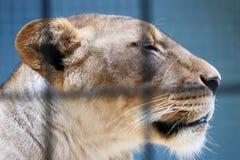 笼中的狮子 免版税图库摄影