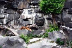 笼中的老虎 免版税库存图片