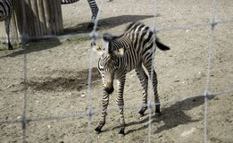 笼中的野生斑马 免版税库存照片