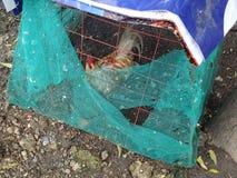 笼中的雄鸡 免版税库存照片